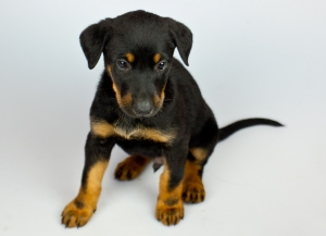 puppy-isolated-german-shepherd-x-dobermann-1427333-m